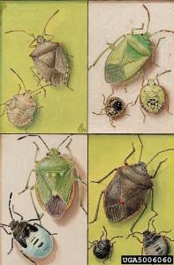 Pentatomidae01
